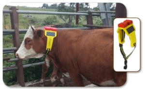 Gilat Satcom Cattle