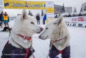 Yukon Quest Dogs