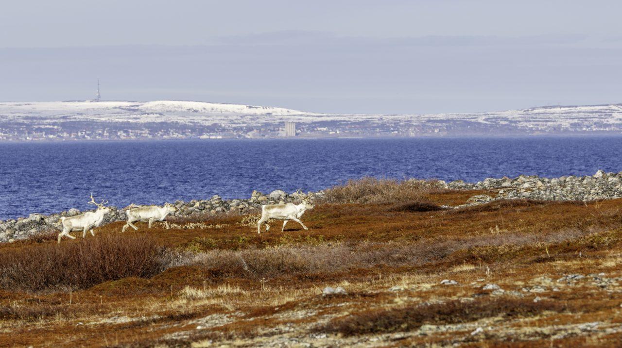 Reindeer traverse the Norwegian hinterlands. Photo: Globalstar.